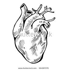human heart sketch style vector illustration stock vector
