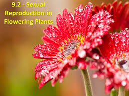 Reproduction In Flowering Plants - 9 2 sexual reproduction in flowering plants ppt video online