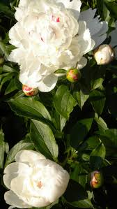 103 best my utah flower garden images on pinterest flower