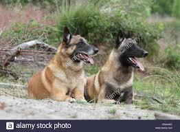 belgian shepherd nature dog belgian shepherd malinois two adults lying on the sand stock
