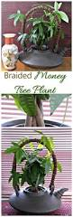 Easy Apartment Plants Best 25 Money Tree Plant Care Ideas On Pinterest Money Plant