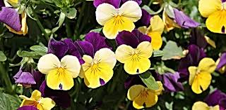 free photo pansy flower garden flowers pink free image on