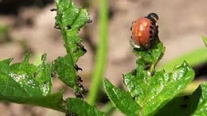 spraying insecticide on potato beetle bug larvas in cultivated