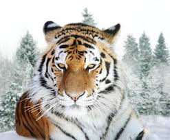 siberian tiger the largest tiger dinoanimals com