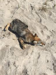 possible coyote poisoning inflames social media news wicked