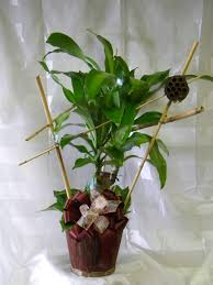 dracaena corn plant same day delivery on plants in houston