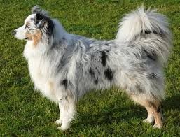 australian shepherd 4 months size australian shepherd dog photo click on the photos below to see