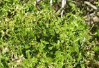 Image result for Amyris texana