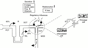 renal potassium transport mechanisms and regulation renal