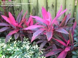 ti plant plantfiles pictures cordyline hawaiian ti plant luck plant