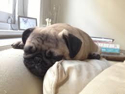 Sleeping On The Sofa Gus The Pug Sleeping On The Sofa Guardianwitness