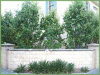 everscreen ornamental pear hello hello plants garden supplies