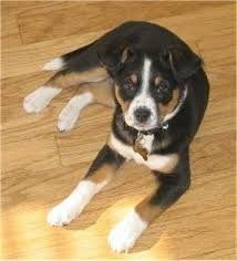 australian shepherd lab mix for sale aussiedor dog breed information and pictures