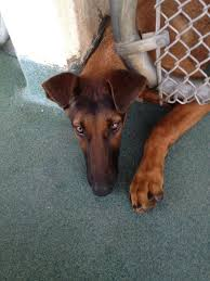 american pitbull terrier doberman mix i found chevy on dogs italian and italian greyhound