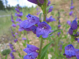 State Flower Of Colorado - native herbaceous perennials for colorado landscapes 7 242