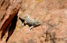 Backyard Reptiles Oklahoma Lizard Identification Hunker