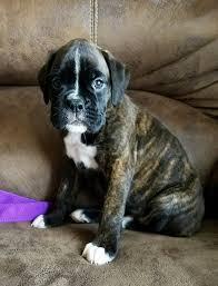 boxer dog in heaven havenwoods boxers home facebook
