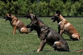 belgian sheepdog massachusetts even police dogs are now using opioid overdose drugs vocativ
