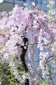 best 25 weeping cherry tree ideas only on pinterest dwarf