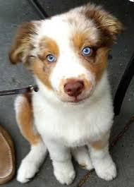 australian shepherd kennel size australian shepherd red merle blue eyes google search puppies
