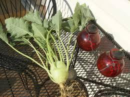 cool weather vegetables seed starting kohlrabi kale broccoli