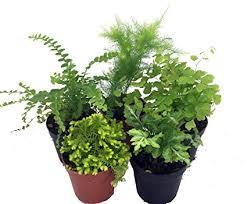 mini plants amazon com mini ferns for terrariums fairy garden 5 different