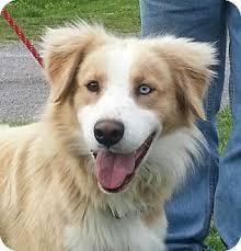 australian shepherd yorkie cody adopted dog tia washington dc australian shepherd