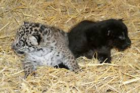 all black jaguar a pair of adorable baby jaguars have been born at a wildlife park