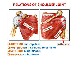 Subscapularis And Supraspinatus Anatomy Of The Shoulder Region Ppt Video Online Download