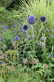 image globe thistle echinops ornamental allium and