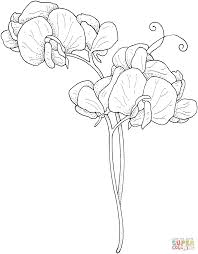 sweet pea flowers coloring page free printable coloring pages