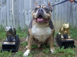 american pitbull terrier gotti razors edge american pit bull terrier puppies in louisiana