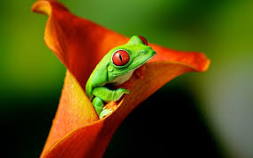 58 eyed tree frog hd wallpapers backgrounds wallpaper abyss