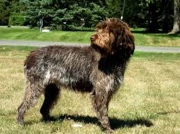 anyone familiar with the dog breed wirehaired pointing