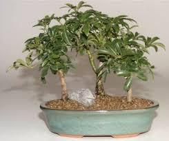 hawaiian umbrella bonsai tree 3 tree forest arboricola