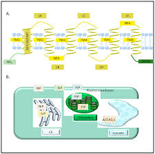 jdb free full text the roles of aquaporins in plant stress