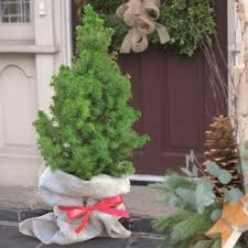 buy a real nordmann christmas tree online