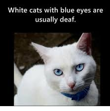 White Cat Meme - white cats with blue eyes are usually deaf cats meme on me me