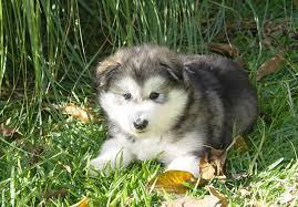 belgian shepherd x alaskan malamute alaskan malamute puppies for sale akc puppyfinder