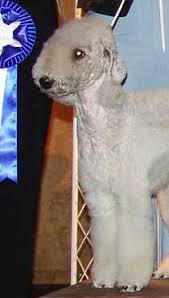 bedlington terrier stud bedlington terrier
