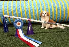 american eskimo dog rescue wichita ks 2015 fall competition title update american kennel club