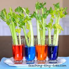 celery experiment learn how plants absorb water in this kids