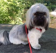 haircuts for shih tzus males adorable shih tzu hair styles