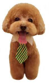 image result for teddy bear dog haircuts four legs pinterest