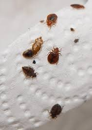 Small Black Bugs In Bed Tiny Black Bugs That Jump Brown In Kitchen Springtails House Near