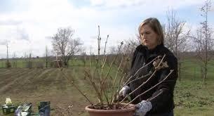 potare le ortensie in vaso giardinaggio la potatura delle ortensie a inverno