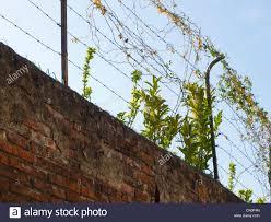 climbing plants fence stock photos u0026 climbing plants fence stock