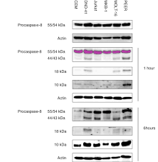 for bid p18 subunit was necessary for bid cleavage cells were treated with