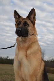 belgian sheepdog georgia appleridge obedience family german shepherd pup gsd breeder
