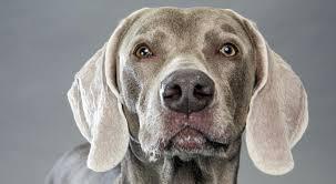 bluetick coonhound basset hound mix weimaraner history u0026 training temperament